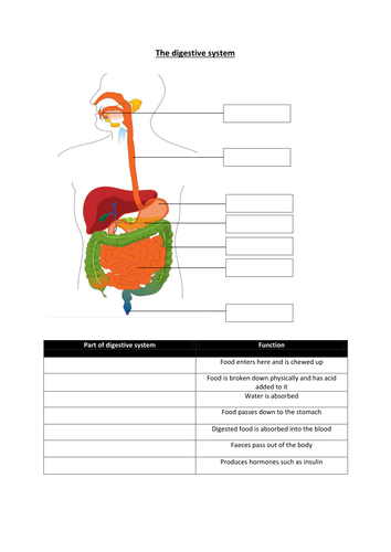 Ks3 Where Does My Food Go The Digestive System By