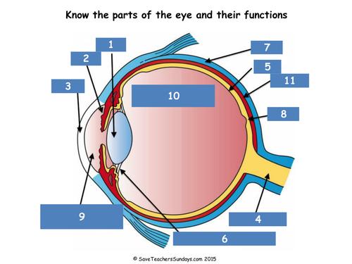 Eye Lesson – Parts of the Eye Worksheet
