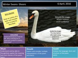 Winter Swans- Sheers