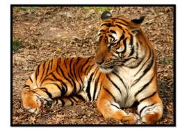 Tiger9.pdf