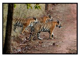 Tiger2.pdf
