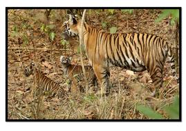 Tiger1.pdf