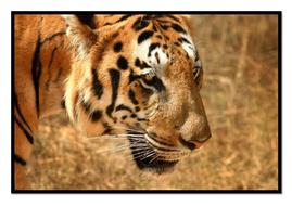 Tiger3.pdf