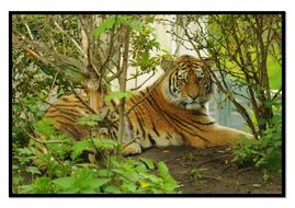 Tiger6.pdf