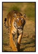 Tiger7.pdf