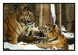 Tiger4.pdf