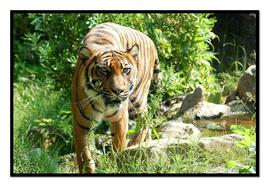 Tiger5.pdf