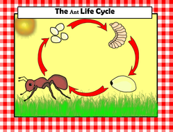 Ant Life Cycle Clip Art Teaching Resources