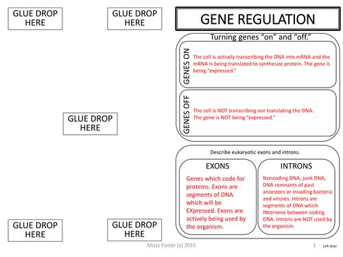 gene regulation prokayotic lac operon vs eukaryotic graphic organizer by mizzzfoster. Black Bedroom Furniture Sets. Home Design Ideas