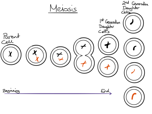 Mitosis and Meiosis Diagrams by chompytheduck Teaching Resources – Meiosis Diagram Worksheet