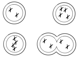 Mitosis and meiosis diagrams by chompytheduck teaching resources tes mitosis and meiosis diagrams ccuart Image collections