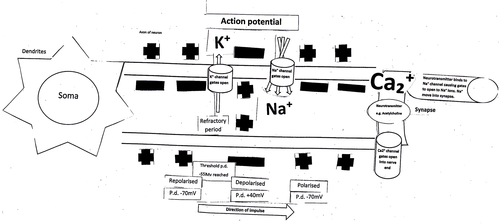 IB DP/A level Action potentials and synaptic transmission