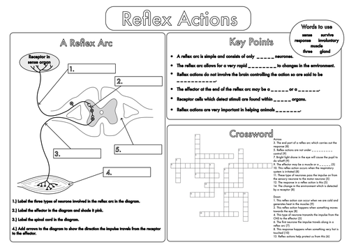 Worksheets The Nervous System Worksheet gcse worksheets on the nervous system by beckystoke teaching worksheet reflex actions pdf