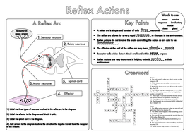 Cause And Effect Worksheets For Grade 2 Gcse Worksheets On The Nervous System By Beckystoke  Teaching  Dna Replication Review Worksheet Word with Paragraph Writing Worksheets Grade 4 Excel Gcse Worksheet On Relex Action Answerspdf  Algebra 2 Worksheet Excel