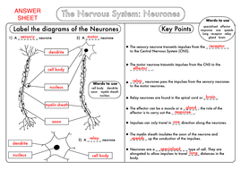 Gcse biology the nervous system worksheet pack updated by gcse biology neurones answer sheetpdf ccuart Image collections
