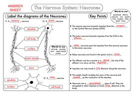GCSE-Biology-Neurones-Answer-Sheet.pdf