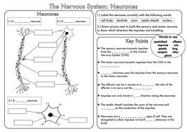 Pictures Nervous System Worksheet - Toribeedesign