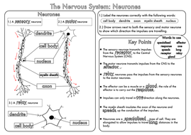 Gcse revision nervous system neurones worksheet by beckystoke gcse nervous system neurones worksheet answerspdf ccuart Image collections