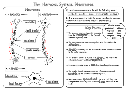 Worksheets The Nervous System Worksheet gcse revision nervous system neurones worksheet by beckystoke answers pdf