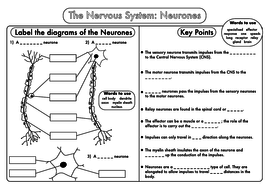 GCSE Biology: Neurones Revision Worksheet Sample