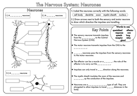 gcse revision nervous system neurones worksheet by beckystoke teaching resources tes. Black Bedroom Furniture Sets. Home Design Ideas