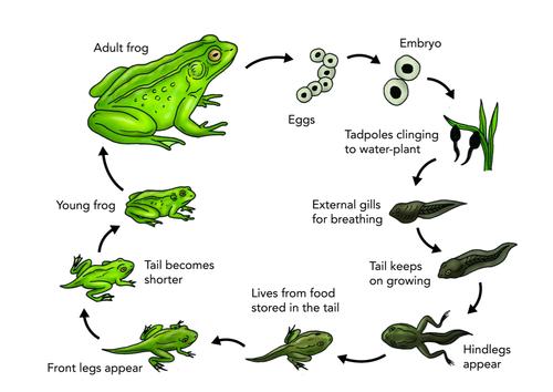 Plant and Animal Life Cycles KS2 science by jeniwebbo - Teaching ...