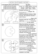 GCSE-Biology-Enzymes-Worksheet.pdf