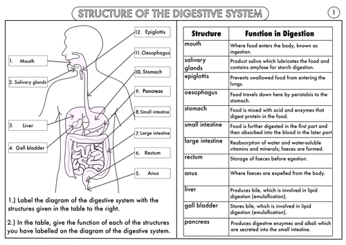 Worksheets Digestion Worksheet gcse digestion topic resource pack by beckystoke teaching digestive system structure and function worksheet answers