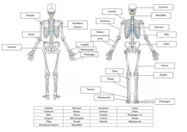 skeletal system worksheet and answers - Skeleton Worksheet