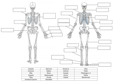 Skeletal System Worksheet and Answers by hayleyanne20 - Teaching ...