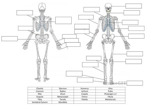 Skeletal System Worksheet and Answers by hayleyanne20 - Teaching ...