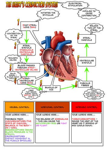 A Level PE - The Heart's Conduction System by - UK ...