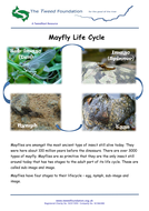 Mayflies-Life-Cycle.pdf