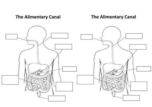 The Alimentary Canal Digestive System By Aaronchandler Teaching