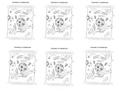 hepatocyte---label-adaptations.docx