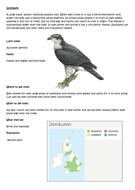 Hawks bird UK resources - information sheets, maps, fact cards