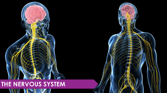 Nervous system ppt by biologywithyoyo teaching resources tes nervous system ppt toneelgroepblik