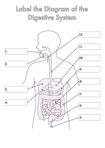 digestive system blank - photo #19