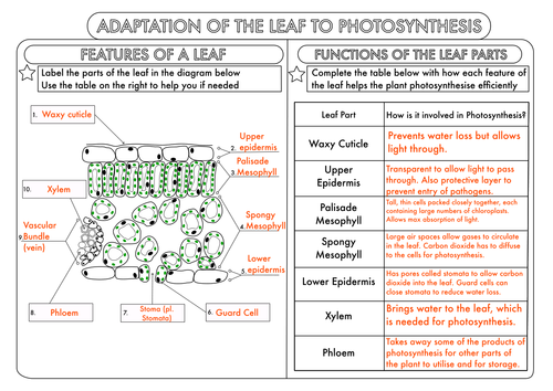 GCSE Photosynthesis Topic Worksheets by beckystoke Teaching – Photosynthesis Diagram Worksheet Answers