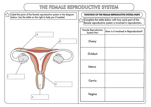 GCSE worksheets on Human Reproduction by beckystoke Teaching – Reproductive System Worksheet