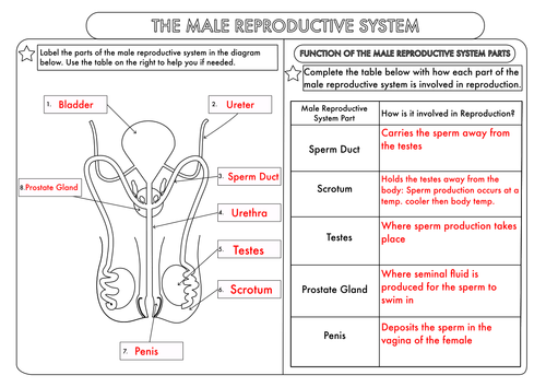 Worksheets Human Reproduction Worksheet gcse worksheets on human reproduction by beckystoke teaching resources tes