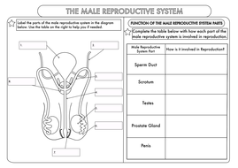 Minute Multiplication Worksheets Excel Gcse Worksheets On Human Reproduction By Beckystoke  Teaching  Segregation Worksheets Word with Practice Letter Writing Worksheets Pdf Male Reproductive System Worksheetpdf  Area Of Shapes Worksheets Excel