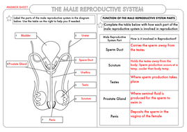 Gcse biology human reproduction worksheet pack by beckystoke gcse biology male reproduction answer sheetpdf ccuart Image collections