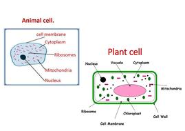 Animal and plant cells KS3 by PurplePotassium - Teaching ...