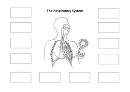 Respiratory system creating a labelled diagram by ineedtoteachthat diagram respiratorysystem cutandstickcx ccuart Image collections