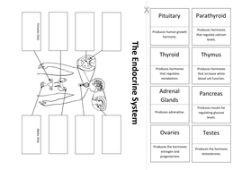 The Endocrine System: Create a Labelled Diagram by ineedtoteachthat ...