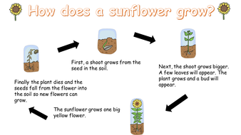 Powerpoint for explanation text in Year 1 - How to grow a sunflower.