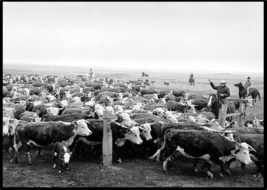 American West: Cattle Ranching