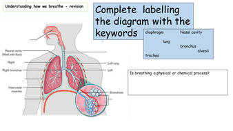 Breathing respiration and the respiratory system revision booklet breathing revisionpptx ccuart Image collections
