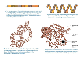Protein-structure-diagrams.docx